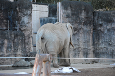 多摩動物公園の象の画像002