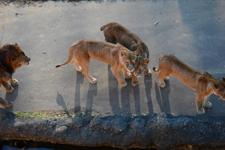多摩動物公園のライオンの画像005