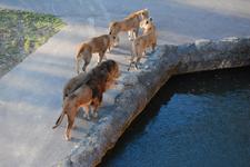 多摩動物公園のライオンの画像007