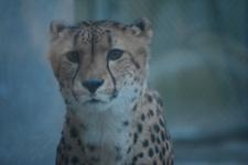 多摩動物公園のチーターの画像002