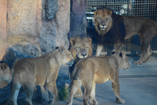 多摩動物公園のライオンの画像009
