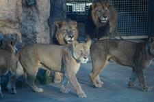 多摩動物公園のライオンの画像010