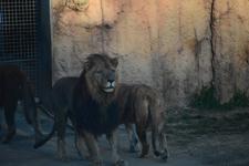 多摩動物公園のライオンの画像011