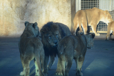 多摩動物公園のライオンの画像012
