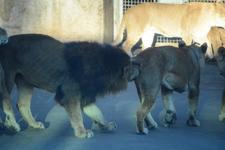 多摩動物公園のライオンの画像013