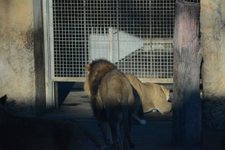 多摩動物公園のライオンの画像014