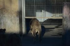多摩動物公園のライオンの画像015