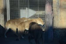 多摩動物公園のライオンの画像016