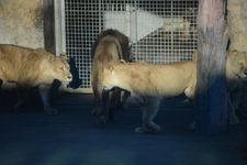 多摩動物公園のライオンの画像017