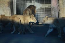 多摩動物公園のライオンの画像018