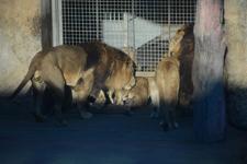 多摩動物公園のライオンの画像019