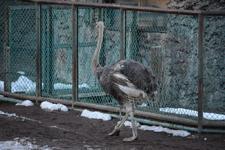 多摩動物公園のダチョウの画像001