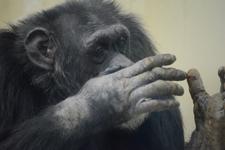 多摩動物公園のチンパンジーの画像001