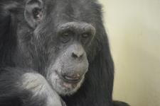 多摩動物公園のチンパンジーの画像002