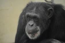 多摩動物公園のチンパンジーの画像003