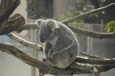 多摩動物公園のコアラの画像001