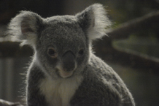 多摩動物公園のコアラの画像002