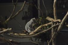 多摩動物公園のコアラの画像003