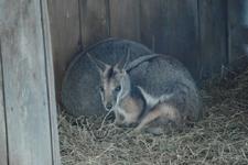 多摩動物公園のワラビーの画像004