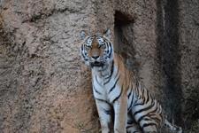 多摩動物公園のトラの画像011