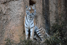 多摩動物公園のトラの画像012