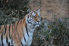 多摩動物公園のトラの画像015