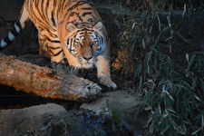 多摩動物公園のトラの画像018