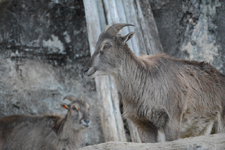 多摩動物公園のヒマラヤタールの画像001