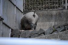 多摩動物公園の猪の画像001