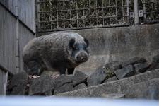 多摩動物公園の猪の画像002