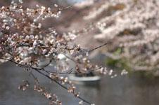 井の頭恩賜公園の桜の画像001