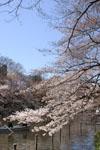 井の頭恩賜公園の桜の画像004