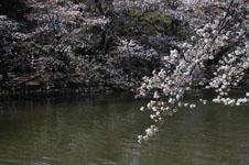 井の頭恩賜公園の桜の画像005