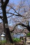 井の頭恩賜公園の桜の画像006