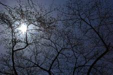 井の頭恩賜公園の桜の画像010