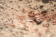 メキシコの蟻の画像006
