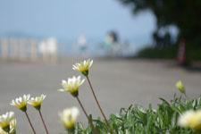伊王島の海辺に生えたガザニアの画像002