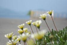 伊王島の海辺に生えたガザニアの画像003