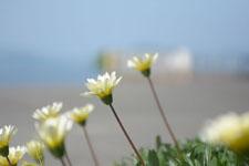 伊王島の海辺に生えたガザニアの画像004