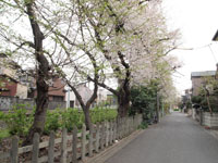 井の頭恩賜公園の散り始めの桜の画像001