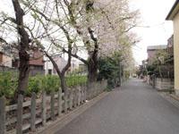 井の頭恩賜公園の散り始めの桜の画像002