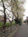 井の頭恩賜公園の散り始めの桜の画像004