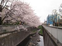 神田川の満開の桜の画像001