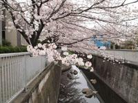 神田川の満開の桜の画像002