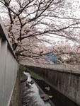 神田川の満開の桜の画像003