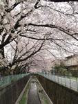 神田川の満開の桜の画像005
