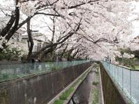 神田川の満開の桜の画像006