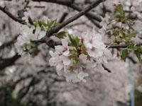 神田川の満開の桜の画像008