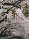 神田川の満開の桜の画像009