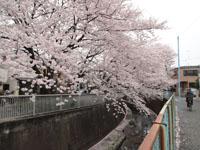 神田川の満開の桜の画像010